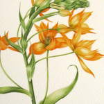 Orange chincherinchee flower in watercolour