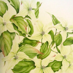 Cornus Kousa in watercolour