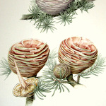 Cedar in watercolour